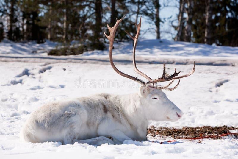 Download Reindeer stock image. Image of snow, scandinavia, white - 8628643