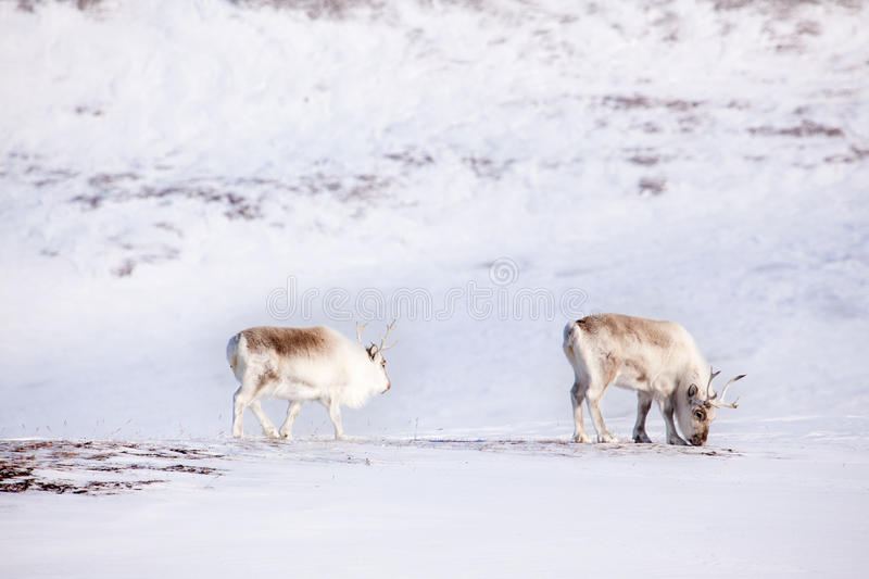 Download Reindeer stock image. Image of reindeer, finland, snow - 9417191