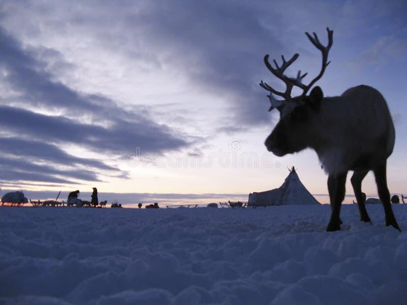 Reindeer against a tundra landscape. Life on Yamal stock photos