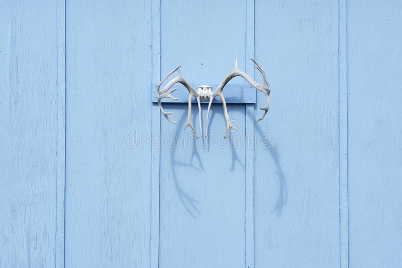 Reindeer Antlers. On blue wooden panel in Greenland stock images