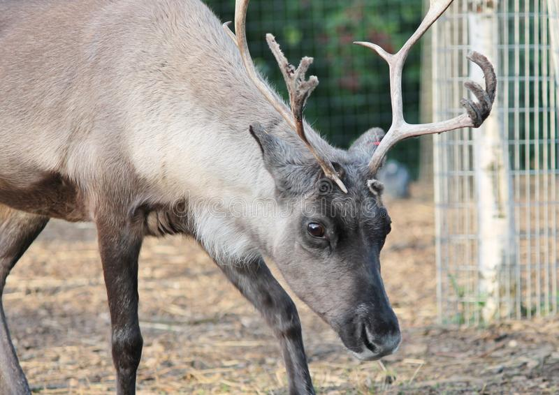 Reindeer with antlers. Reindeer Male stag Reindeer with antlers with peeling velvet royalty free stock photos