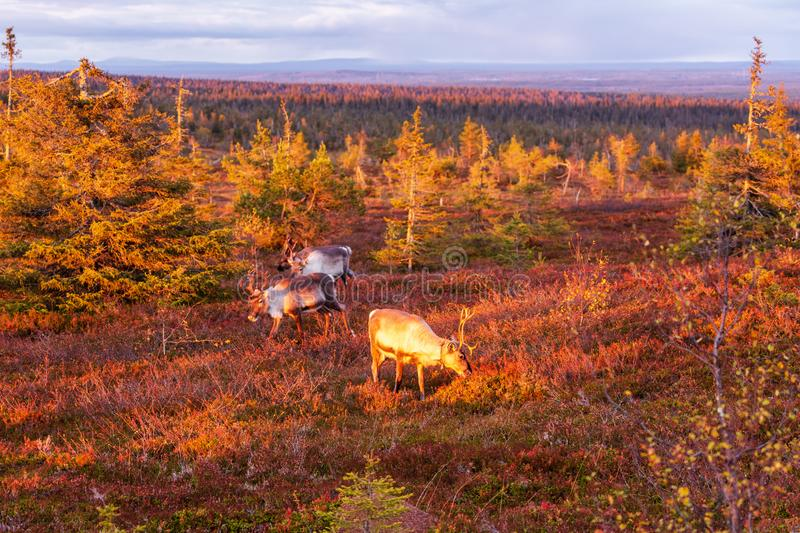 The reindeer in the autumn forest in Lapland with beautiful evening light, Riisitunturi national park. Finland royalty free stock photo