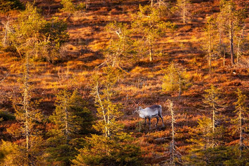 The reindeer in the autumn forest in Lapland, Riisitunturi national park. Finland stock photos