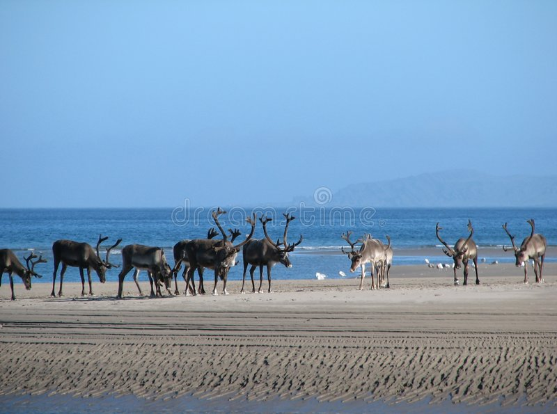 Download Reindeer on the beach stock image. Image of norway, north - 3206041