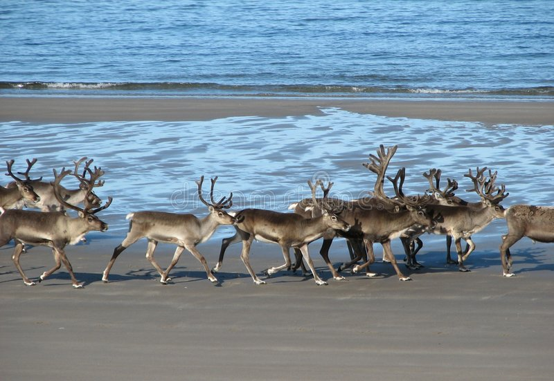 Reindeer on the beach royalty free stock photo