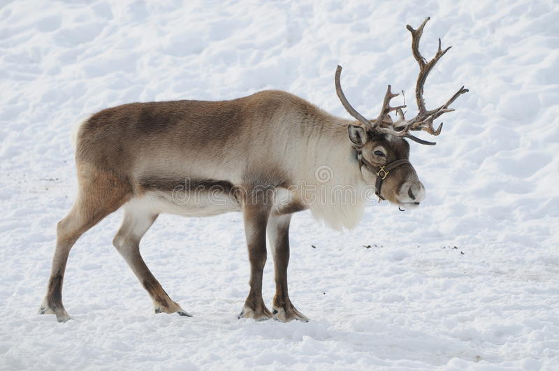 Reindeer. Beautiful reindeer found in the alps during Christmas time