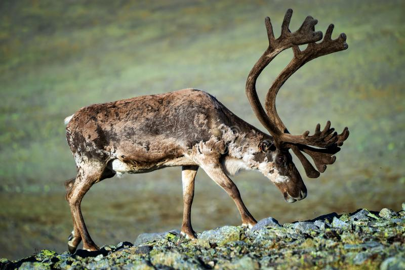 Reindeer big antlers. Reindeer with big antlers, Jotunheimen Mountains, Norway stock images