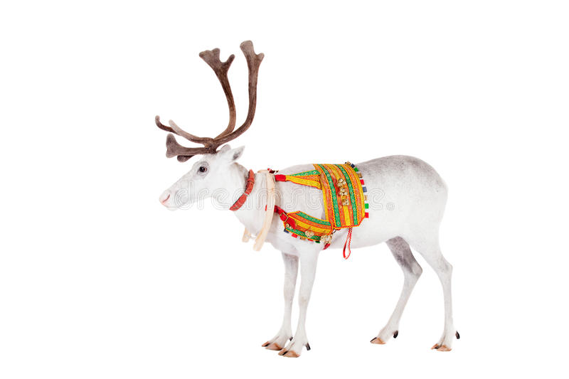 Reindeer or caribou wearing traditional harness stock photography