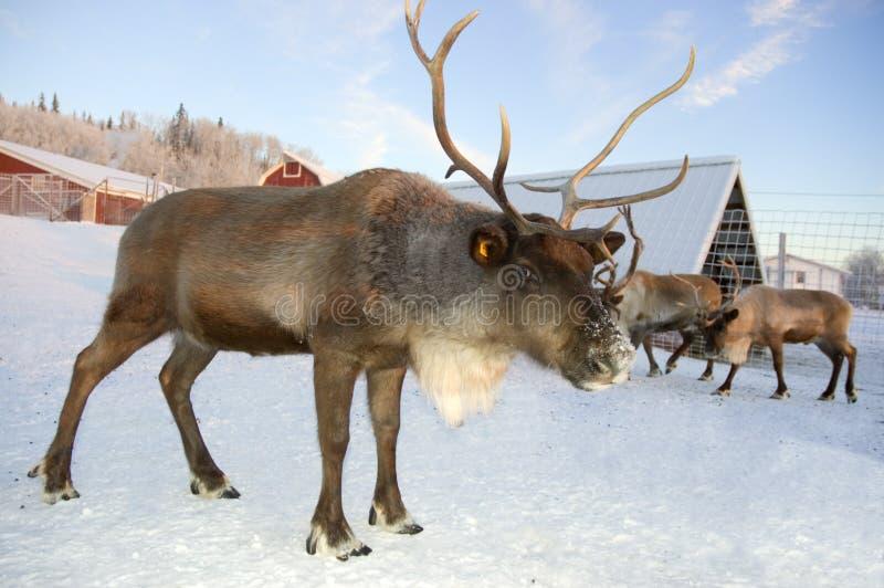 Reindeer challenge stock photo