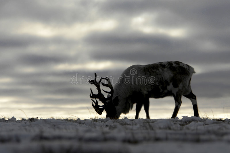 Reindeer in chukchi tundra royalty free stock images