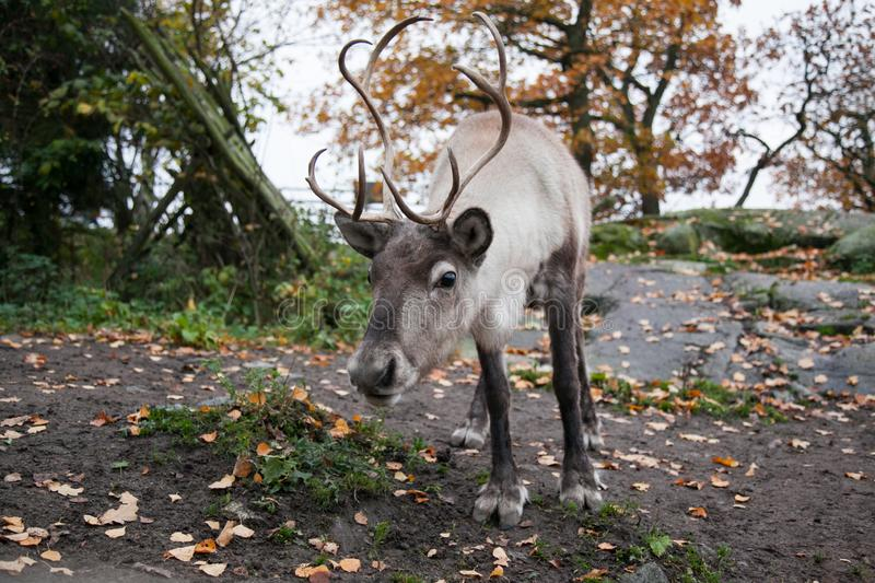 Reindeer close-up in open-air museum and zoo Skansen in city Stockholm, Sweden. The deer bows its head low and stands against a background of yellow autumn stock images