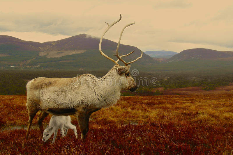 Reindeer cow and calf in Scotland royalty free stock photos