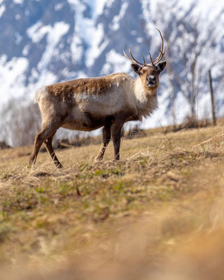 Reindeer in front of mountain royalty free stock photos