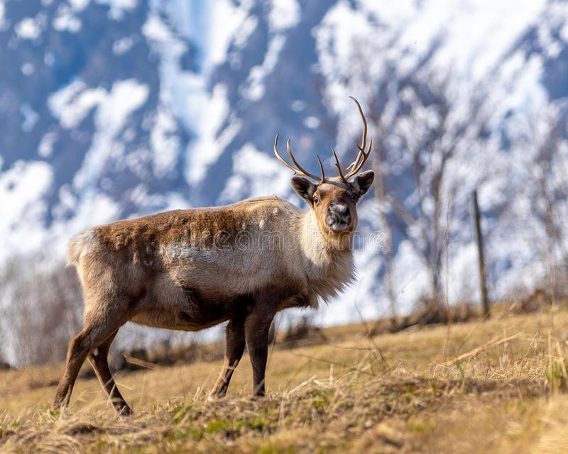 Reindeer in front of mountain stock photo