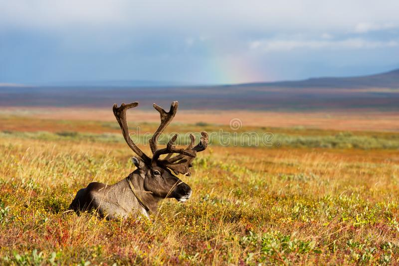Reindeer grazes in the polar tundra. Avka is a general name for domesticated reindeer. Herd of reindeer grazes in the tundra nearby of polar circle royalty free stock photography