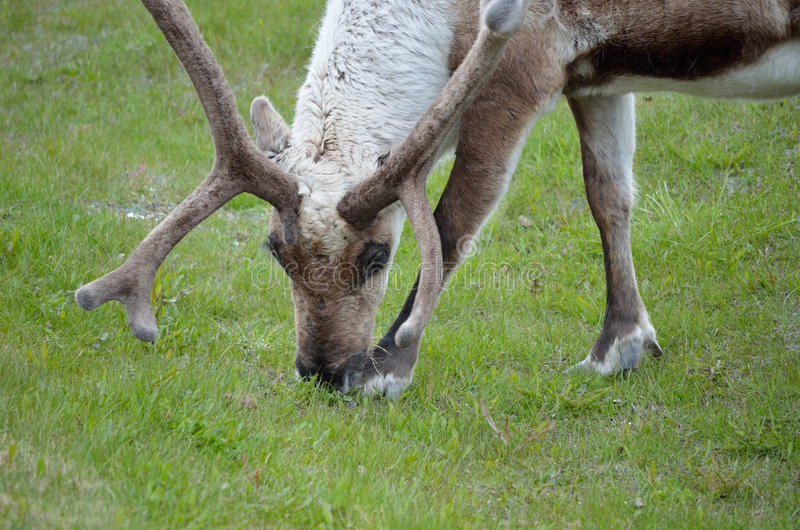 Reindeer grazing and feeding. On green grass closeup royalty free stock image