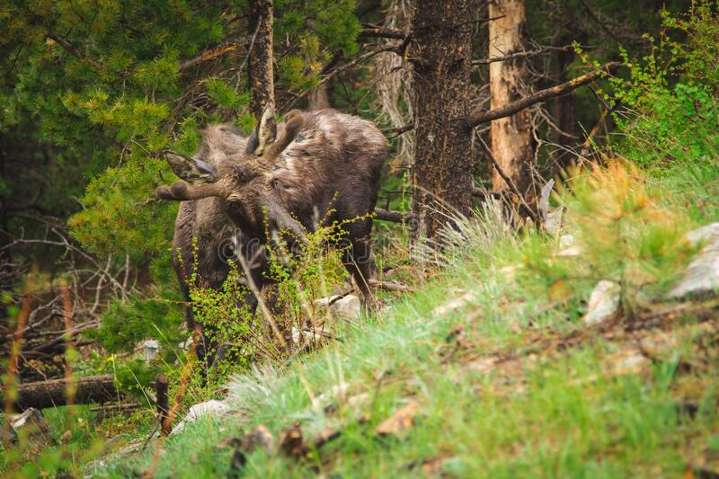 Reindeer Grazing In A Forest Free Public Domain Cc0 Image