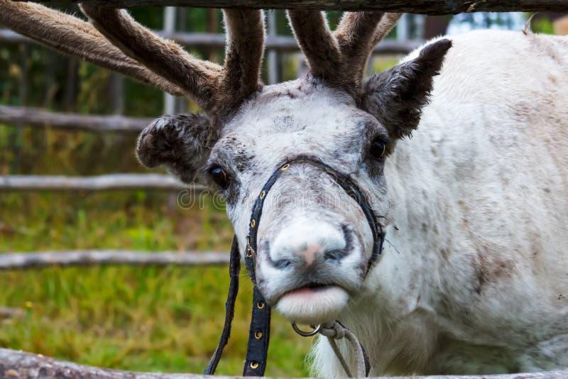 Reindeer grazing. In the meadow. Closeup stock photography