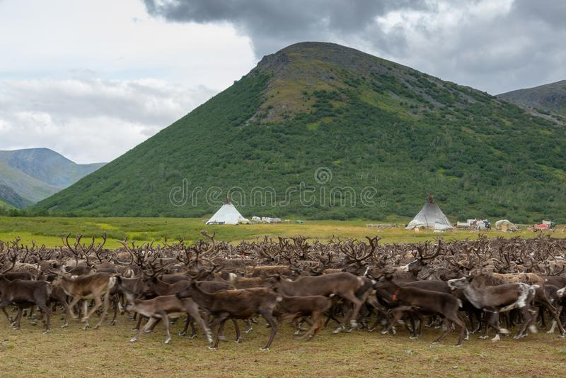 Reindeer grazing near camp of reindeer herders. Reindeer grazing near the camp of reindeer herders, Yamal stock photography