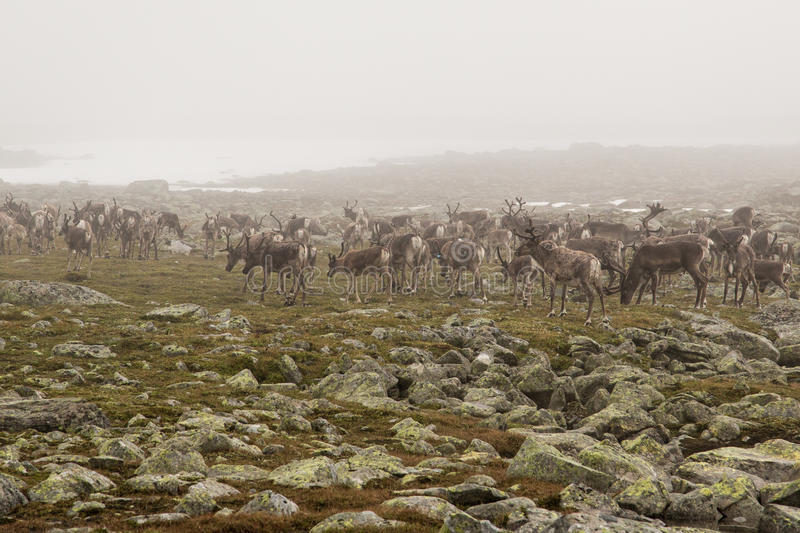 Download Reindeer Herd In The Fog Royalty Free Stock Photography - Image: 28128947