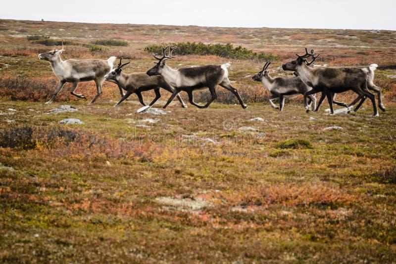 Reindeer herd, Sweden. Reindeer herd running across tundra in autumn on sunny day in Sweden royalty free stock photography