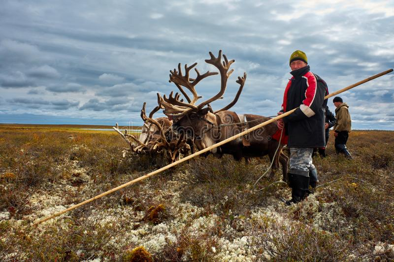 Reindeer herder in the tundra. Not far from the polar village of Samburgh, Yamal, Russia. Photo August 25, 2011. Reindeer herder in the tundra. In his hands stock photography