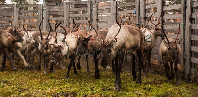 Reindeer herding stock image
