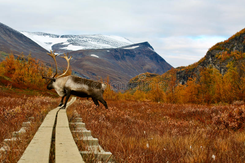 Reindeer on the hiking trail stock photos