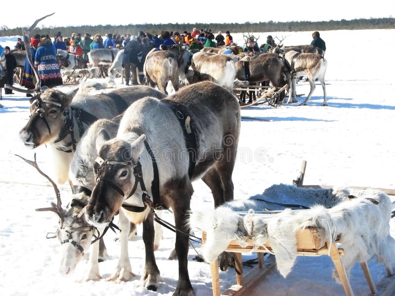 Reindeer. stock images