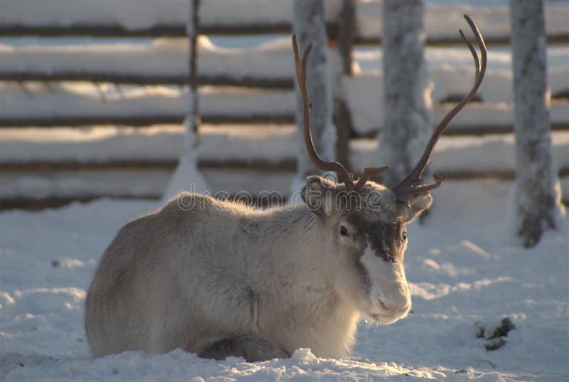 Reindeer with horns