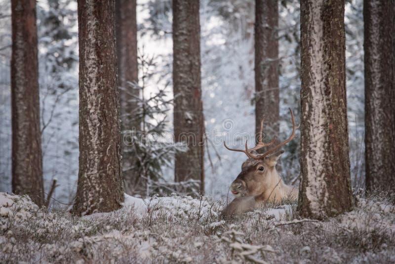 Reindeer royalty free stock photo