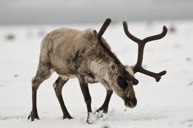 Reindeer Kicking Snow royalty free stock photography