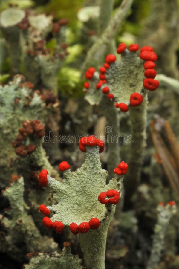 Download Reindeer lichen stock image. Image of nature, abstract - 17239969