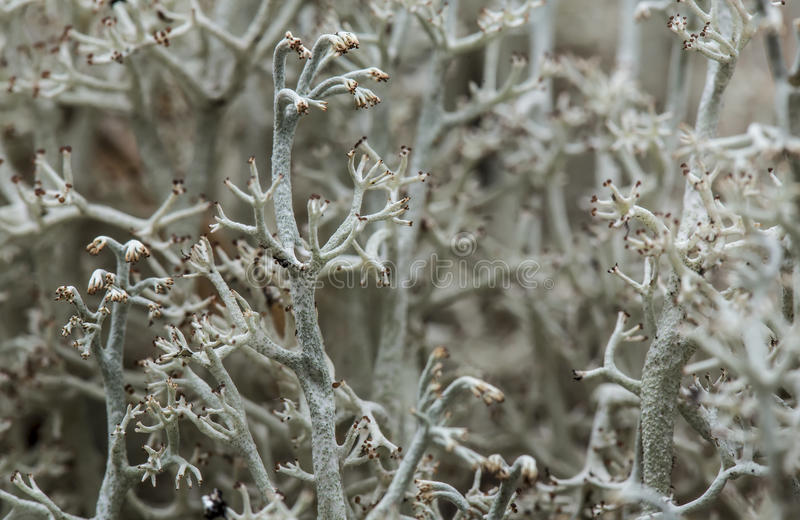 Reindeer lichen cladonia Cladonia close up in the forest. stock image
