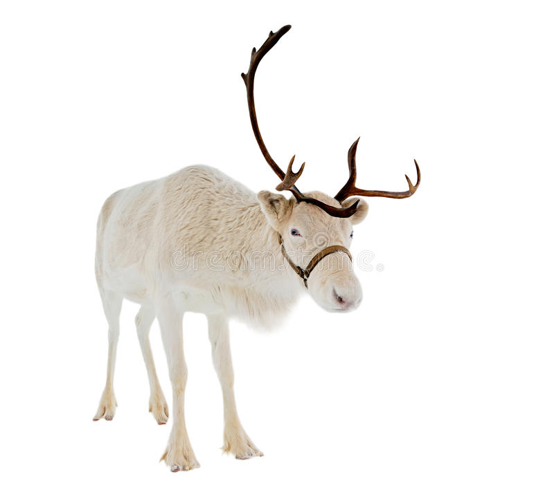 Reindeer in front of a white background stock images