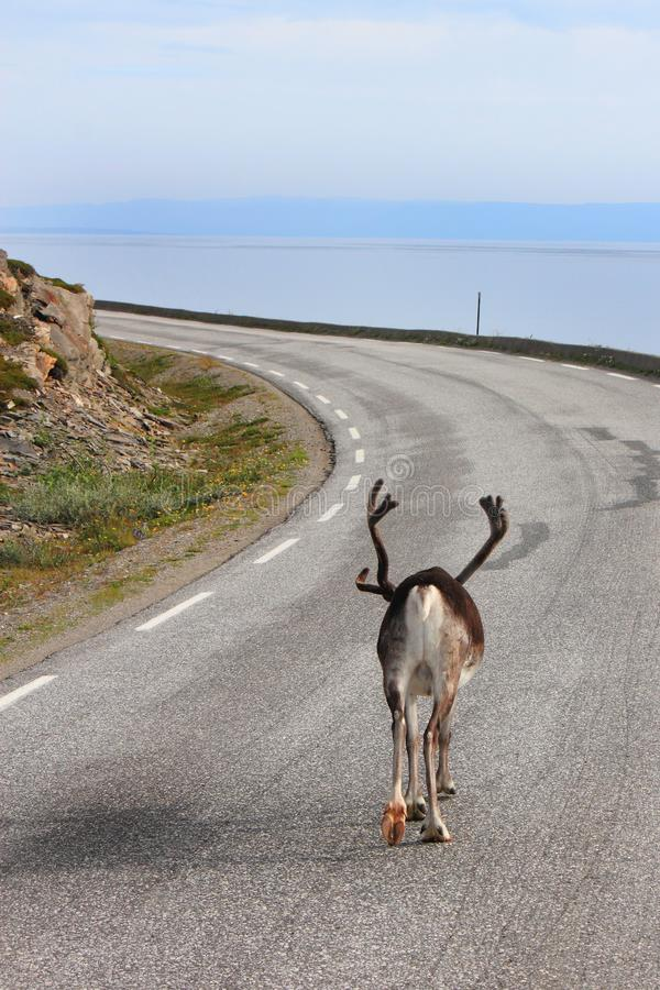 Reindeer the master of the road. Reindeer going slowly to Nordkapp, North Cape, Norway, region of Finnmark, Arctic Circle stock photos