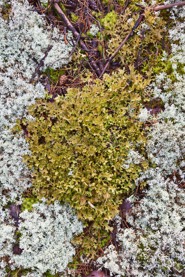 Download Reindeer moss stock image. Image of forest, pattern, white - 25087385