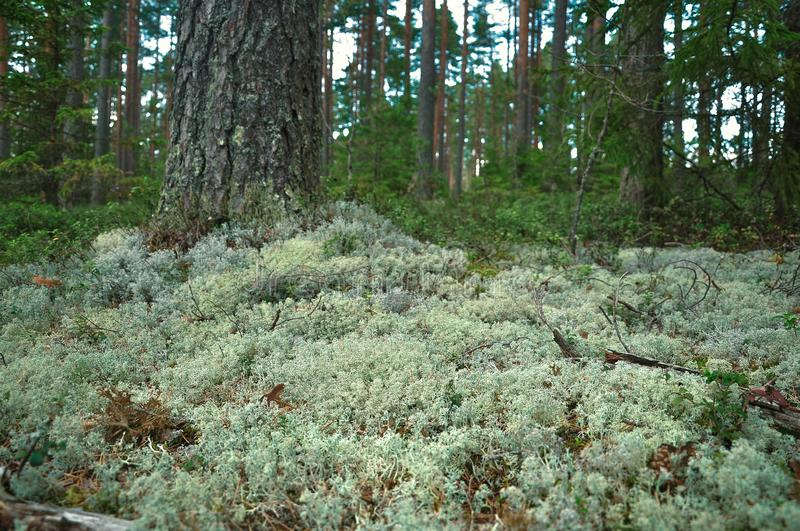 Reindeer moss in the forest of pine and spruce. Close up view. Nature background stock photography
