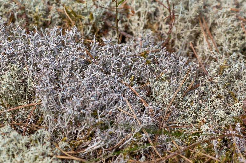 Reindeer moss growing in tundra royalty free stock photos