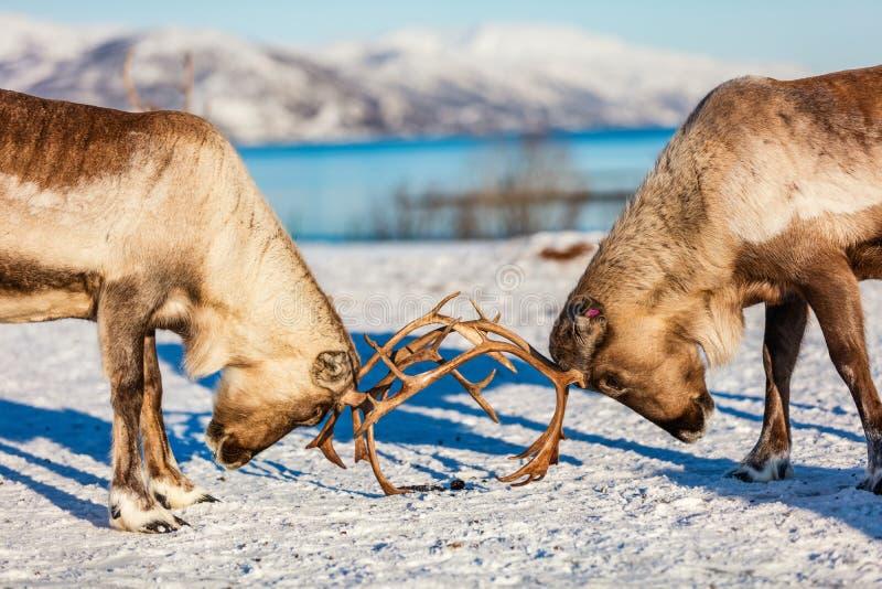 Reindeer in Northern Norway royalty free stock images