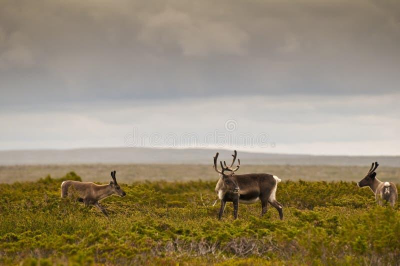 Download Reindeer (Rangifer Tarandus) Stock Image - Image: 11617229