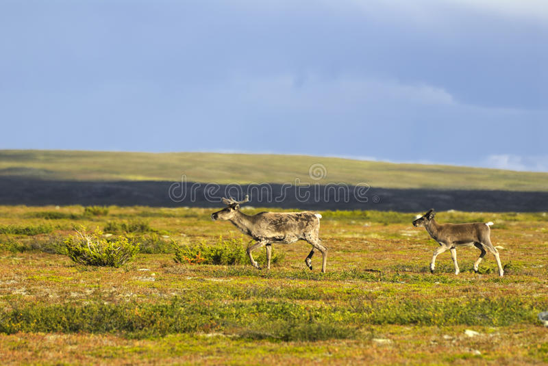 Download Reindeer (Rangifer Tarandus) Stock Image - Image: 11617249