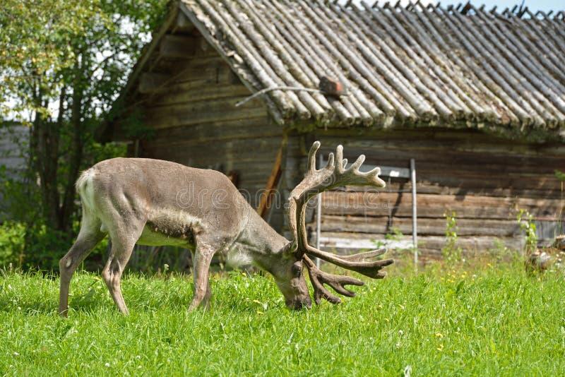Reindeer Rangifer tarandus grazes near village hut. In summer royalty free stock photos