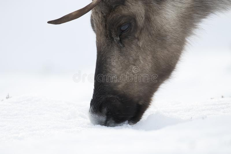 Reindeer, Rangifer tarandus, grazing, foraging in the snow on a windy cold winters day on a hill in the cairngorms national park, stock images