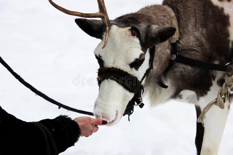 Reindeer Rangifer tarandus is in harness on holiday. woman is feeding deer with hands. stock image