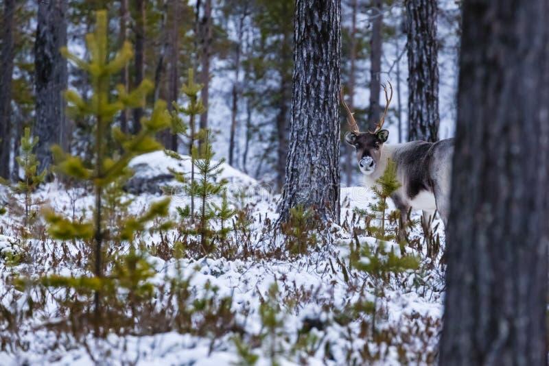 Reindeer / Rangifer tarandus in winter forest stock photos