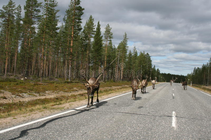 Reindeer On Road Royalty Free Stock Photo