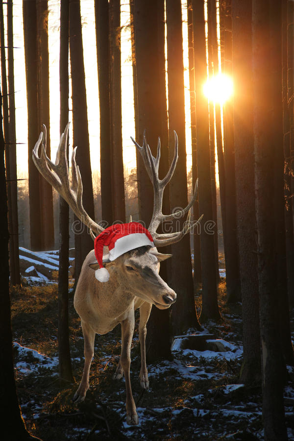 Reindeer Rudolph in the forest, at sunset. Reindeer with santa claus hat in the forest, at sunset royalty free stock photography