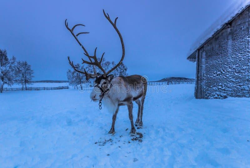 Reindeer in Sami Camp, Sweden stock image
