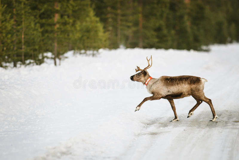 Reindeer In Scandinavia Royalty Free Stock Images